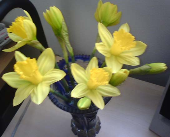 my own daffodils